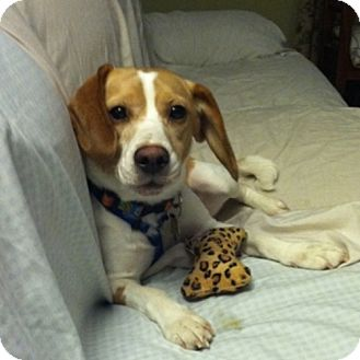 Beagle Dog for adoption in Pittsburgh, Pennsylvania - Ellie Mae
