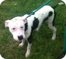 Pit Bull Terrier Dog for adoption in Tahlequah, Oklahoma - Bosco