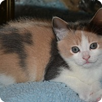 Adopt A Pet :: Jane's Foster Kitten Calico 1 - Island Park, NY
