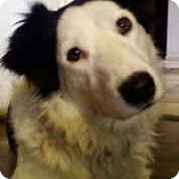 Adopt A Pet :: Miss Star - Phelan, CA