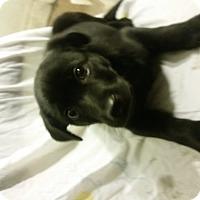Adopt A Pet :: Enzo - Detroit, MI