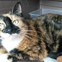 Calico Cat for adoption in Mobile, Alabama - Rainbow
