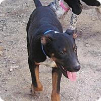 Australian Cattle Dog Mix Puppy for adoption in San Tan Valley, Arizona - Tater