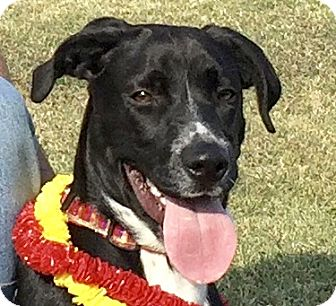 Labrador Retriever Mix Dog for adoption in Evansville, Indiana - Baxter