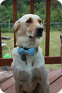 Labrador Retriever Mix Dog for adoption in Gig Harbor, Washington - Cooper - Courtesy listing