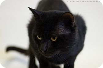 Domestic Shorthair Cat for adoption in Houston, Texas - WILEY