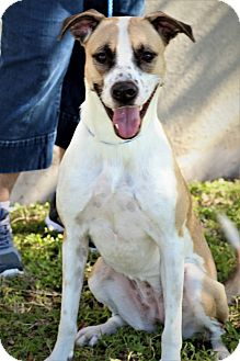 Labrador Retriever/Coonhound Mix Dog for adoption in Brownsville, Texas - Sam