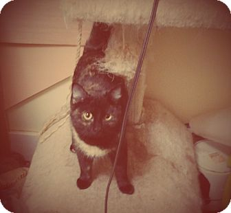 Domestic Shorthair Cat for adoption in Madison, Tennessee - Zelda - silly & snuggly