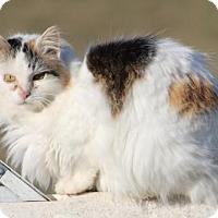 Calico Cat for adoption in Morehead, Kentucky - Estrella FIV POSITIVE ADULT FEMALE