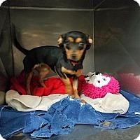Adopt A Pet :: SHEILA - Lubbock, TX