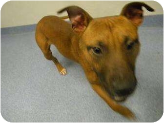 American Pit Bull Terrier Mix Dog for adoption in Gainesville, Florida - Captain