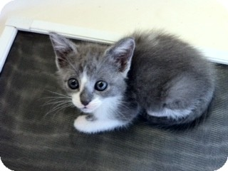 Domestic Shorthair Kitten for adoption in Weatherford, Texas - Banjo