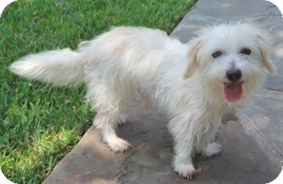 Maltese/Poodle (Miniature) Mix Dog for adoption in Norwalk, Connecticut - Mobie