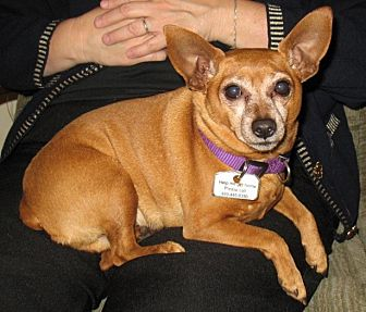 Chihuahua/Miniature Pinscher Mix Dog for adoption in Gilbert, Arizona - Jack