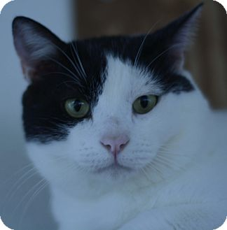 Domestic Shorthair Cat for adoption in West Palm Beach, Florida - Nougat