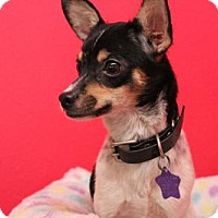 Rat Terrier Mix Dog for adoption in Phoenix, Arizona - Trooper