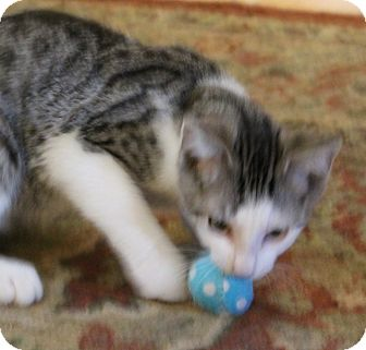 Domestic Shorthair Kitten for adoption in St. Louis, Missouri - Ace Frehley