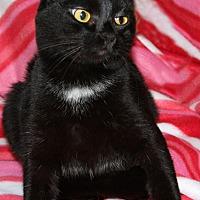 American Shorthair Cat for adoption in Torrance, California - Link