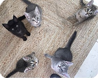 Domestic Shorthair Kitten for adoption in Harrison, New York - 5th Generation Babies