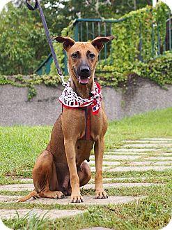 Belgian Shepherd/Labrador Retriever Mix Puppy for adoption in Castro Valley, California - Coco