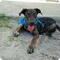 Catahoula Leopard Dog/Australian Cattle Dog Mix Dog for adoption in Umatilla, Florida - Levi
