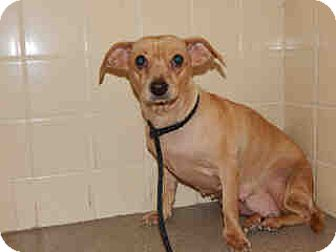 Italian Greyhound/Dachshund Mix Dog for adoption in Litchfield Park, Arizona - Clara - Only $55 adoption!!!