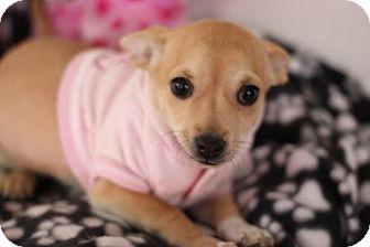 Chihuahua/Miniature Pinscher Mix Puppy for adoption in Phoenix, Arizona - Glove
