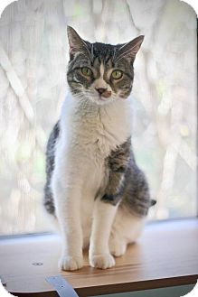 Domestic Shorthair Cat for adoption in San Antonio, Texas - Mitsi