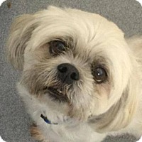 Lhasa Apso Dog for adoption in Stuart, Virginia - Dingo