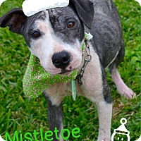 Adopt A Pet :: Mistletoe - Beaumont, TX