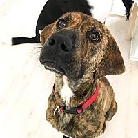 Adopt A Pet :: Misty - Manhasset, NY