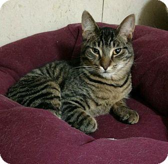 Domestic Shorthair Cat for adoption in Saginaw, Michigan - Kelly