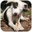 Photo 2 - Akita/Border Collie Mix Dog for adoption in Anton, Texas - Petey