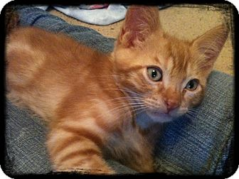 Domestic Shorthair Kitten for adoption in Austin, Texas - Kalamazoo