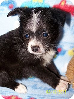 Chihuahua/Pomeranian Mix Puppy for adoption in Sherman, Connecticut - Valentino Betty's Dog