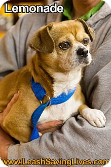 Chihuahua/Pug Mix Dog for adoption in Pitt Meadows, British Columbia - Lemonade