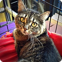Adopt A Pet :: Tiger Lily - Seminole, FL