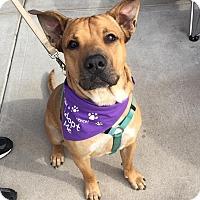Adopt A Pet :: Raji - Gilbert, AZ