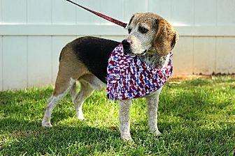 Beagle Dog for adoption in Winder, Georgia - Sundance