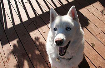 Siberian Husky Dog for adoption in Horsham, Pennsylvania - Dakota White Cloud