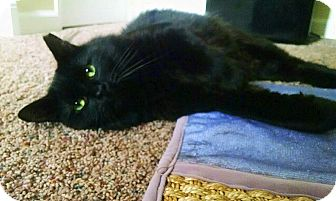Manx Cat for adoption in Cleveland Heights, Ohio - Cheebs~ Endless Love & Laughs!