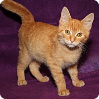 Domestic Shorthair Kitten for adoption in Marietta, Ohio - Skipper (Neutered)