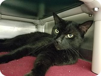 Domestic Shorthair Cat for adoption in Elyria, Ohio - Katt
