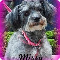 Standard Schnauzer/Poodle (Miniature) Mix Dog for adoption in Anaheim Hills, California - Missy