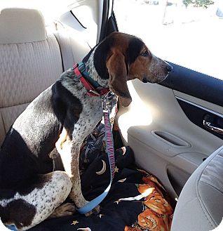Bluetick Coonhound Mix Dog for adoption in Marietta, Georgia - Fancy