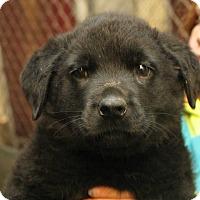 Adopt A Pet :: Nitro (Grey Collar) - Fort Madison, IA