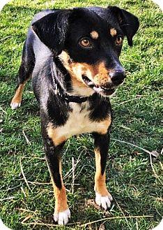 German Shepherd Dog/Bernese Mountain Dog Mix Dog for adoption in Gretna, Nebraska - Wren