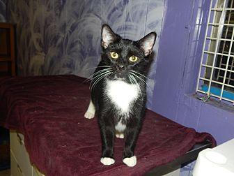American Shorthair Kitten for adoption in Holden, Missouri - Shadowhunter