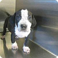 Adopt A Pet :: *CUPCAKE - Norco, CA