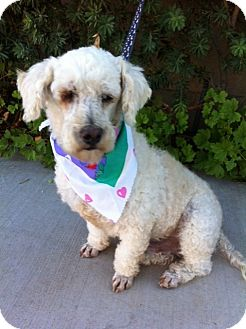 Scottie, Scottish Terrier/Poodle (Miniature) Mix Dog for adoption in San Diego, California - BO, watch my video!